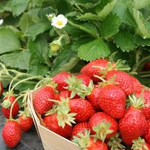 fraisier-mariott-marionnet-g1