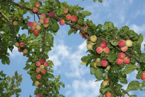 arbre_fruitier