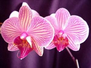 234173_JOPVJC28GWIFLKMAVK8SGL61KYDXO7_orchidees0014_H001442_L